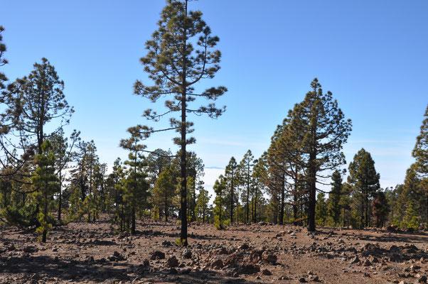 Teide nahe an der Baumgrenze