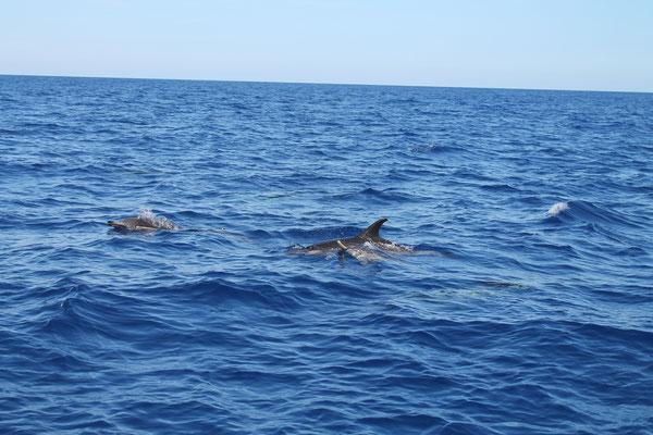 Delfineskorte