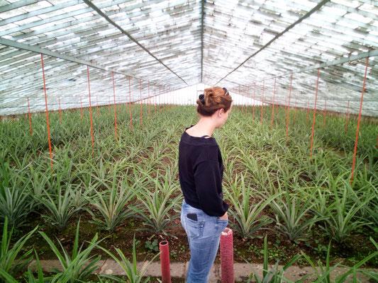 Ananas-Plantage