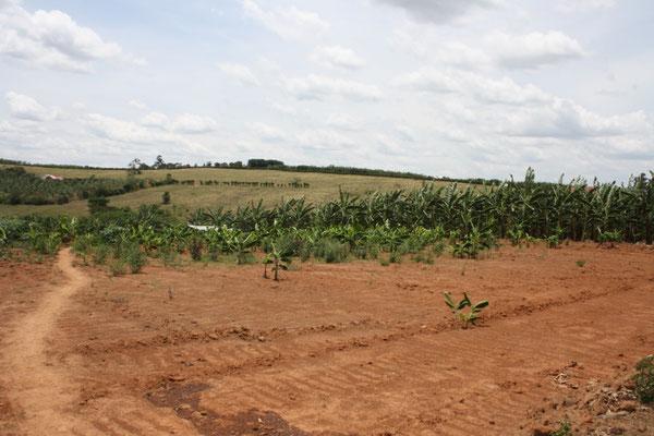 Neuanpflanzung Banananen