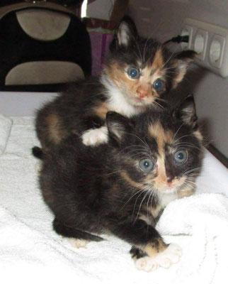 Maya ( die Obere ) und Maggie ( die Untere - Maggie hat es leider nicht geschafft und ist nun ein Sternenkätzchen )