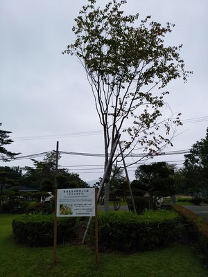 宮沢賢治、ケワイザクラ、羅須地人協会、花巻農業高校