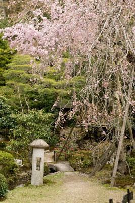 旧竹林院の枝垂れ桜