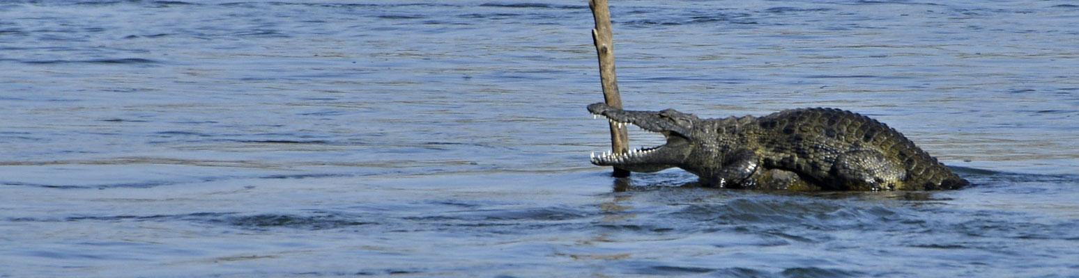 ... auch dieses Krokodil ist keine 100 Meter von unserem Zelt entfernt.