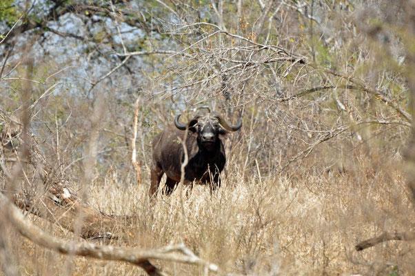 Buffel - één van de 'big five'