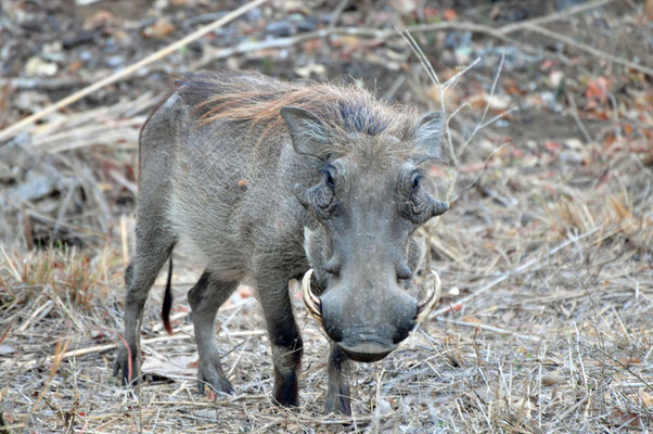 Knobbelzwijn of wrattenzijn (warthog)