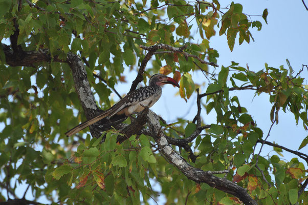 Roodbek neushoornvogel (Red billed hornbill)