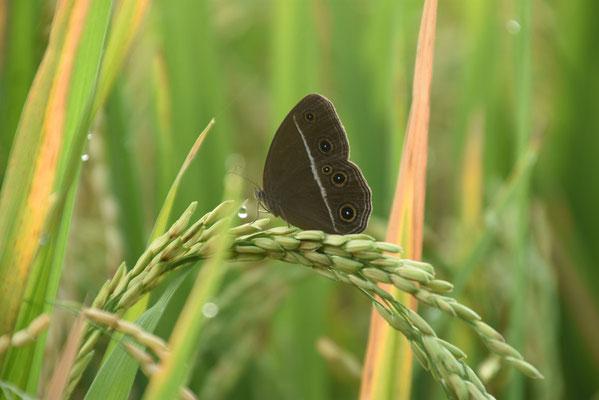 Vlinder op rijst-aar