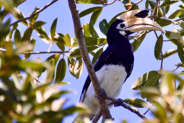 De bonte neushoornvogel (oriental pied hornbill)