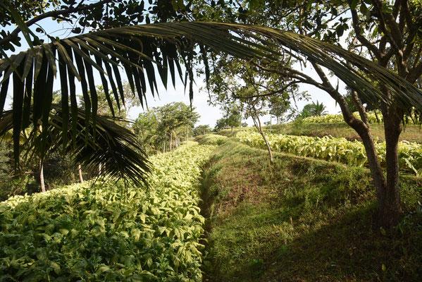 Tabaksvelden op Lombok in de buurt van Tetu Batu