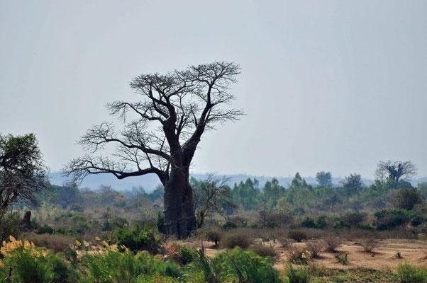 Baobab aan de boorden van de Shire-river