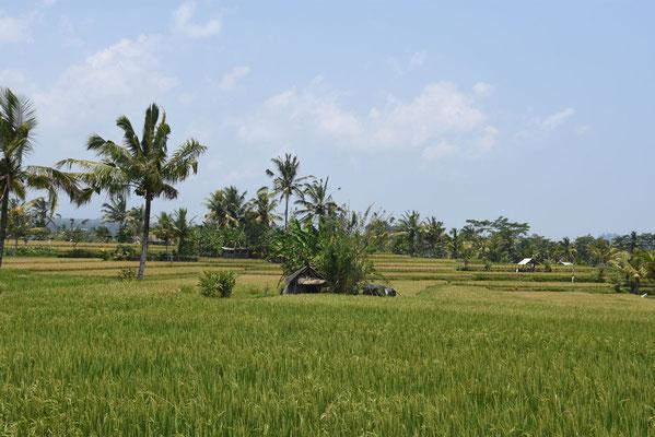 Balinese platteland met de altijd mooie rijstvelden