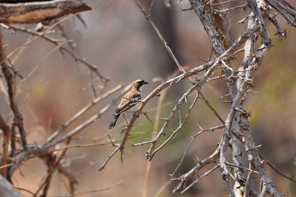 Mus-wever (Sparrow weaver)