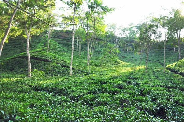 Theeplantage nabij Sreemongol