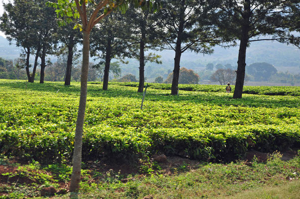 Theeplantages in omgeving van Mulanje