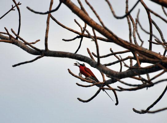 Paradijs Vliegenvanger (Paradise Fly Catcher)