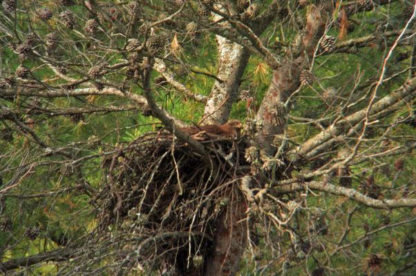 zwarte wouw op nest