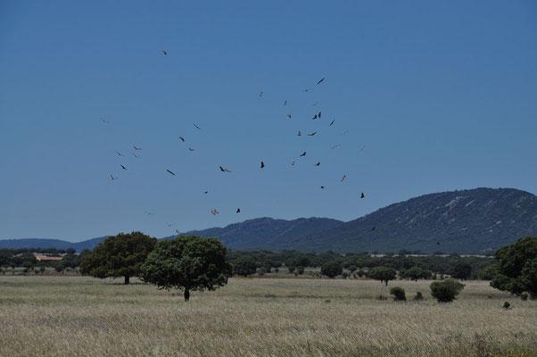 Rondvliegende gieren op zoek naar prooi