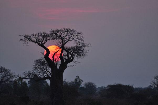 Baobab bij zonsondergang aan de boorden van de Shire-river