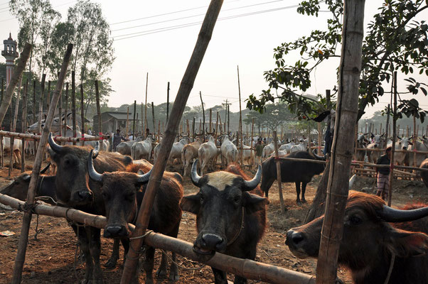 rundermarkt nabij Bandarban