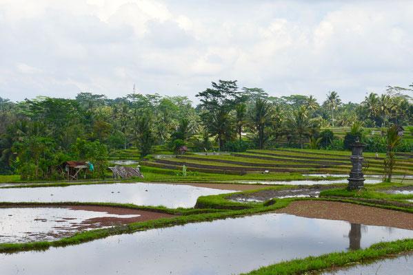 De rijstvelden in aanleg tijdens de Campuhan Ridge Walk