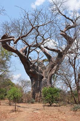 Baobab van 4000 jaar oud waarop Tolkien zich inspireerde voor zijn 'Ents ' in The Lord of the Rngs