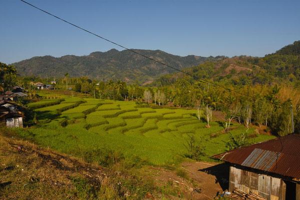 Mooie rijstterrassen in de buurt van Bajawa