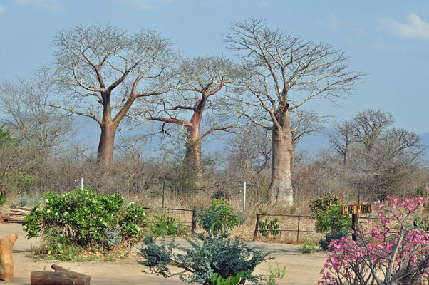 Baobabs in Liwonde Camp Site