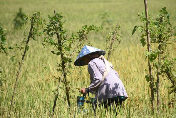 Arbeid op de rijstvelden