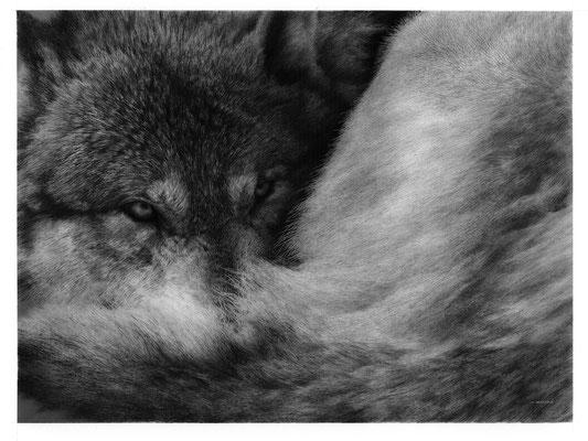 タイリクオオカミ(インク・鉛筆・アクリル、イラストボード)