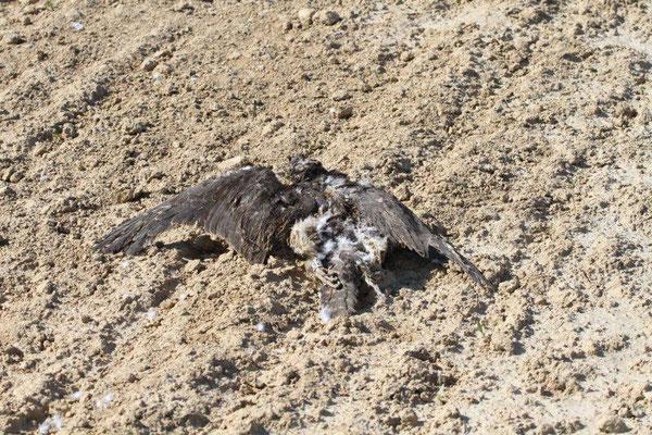 Wanderfalke - einjähriger Terzel