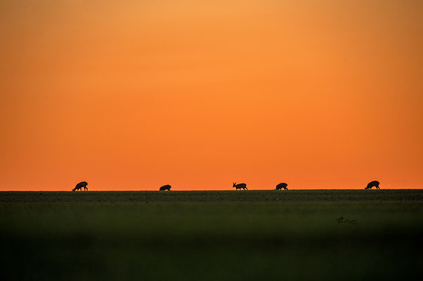 Rehe im Sonnenuntergang