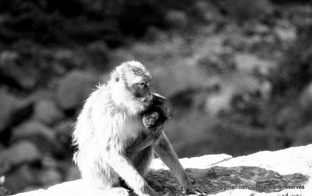 [NB055-1978-27] Gorges de Kherrata - Magots