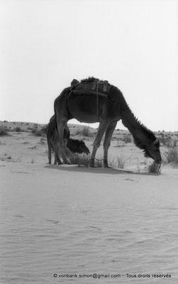[NB014-1981-07] Djamaa - Dromadaires