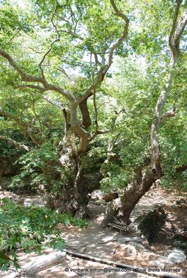 [NU900x-2013-0241] Crète - Argyroupoli : Platane bi-millénaire (?)