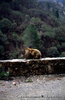 [012-1984-09] Gorges de Kherrata - Magots