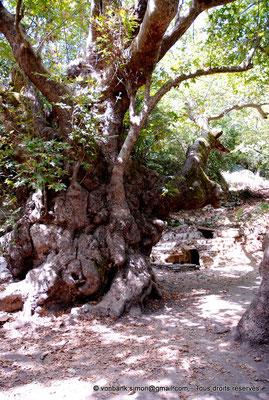 [NU900x-2013-0246] Crète - Argyroupoli : Platane bi-millénaire (?)