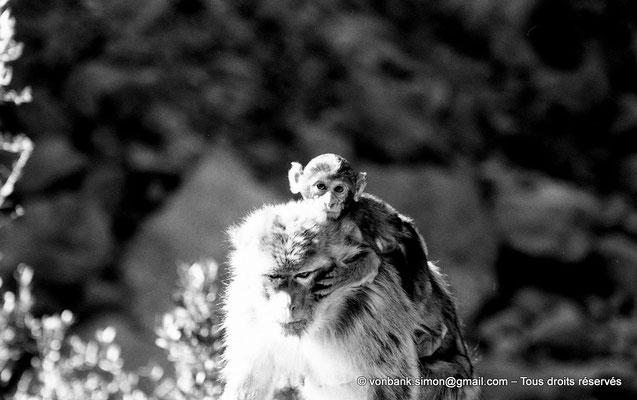 [NB055-1978-29] Gorges de Kherrata - Magots