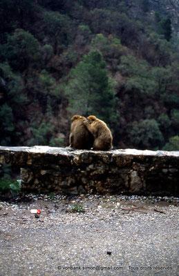 [012-1984-08] Gorges de Kherrata - Magots