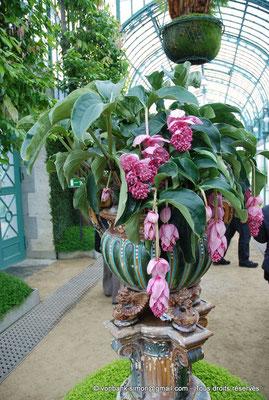 [NU900c-2012-0207] B - Bruxelles - Laeken : Serres royales - Fleurs de Medinilla magnifica