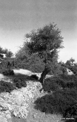 [NB017-1981-19] Roknia : Olivier et dolmen