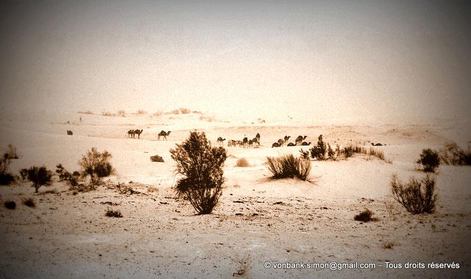 [NB050-1978-55a] Touggourt : Caravane dans le désert
