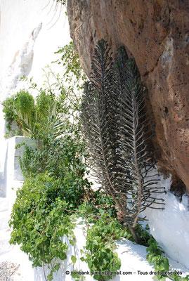 [NU900x-2013-0120] Crète - Chrysoskalítissa : Végétation à flanc de falaise le long de l'escalier d'accès au monastère (Kalanchoe, Palmier (Phoenix), ...)