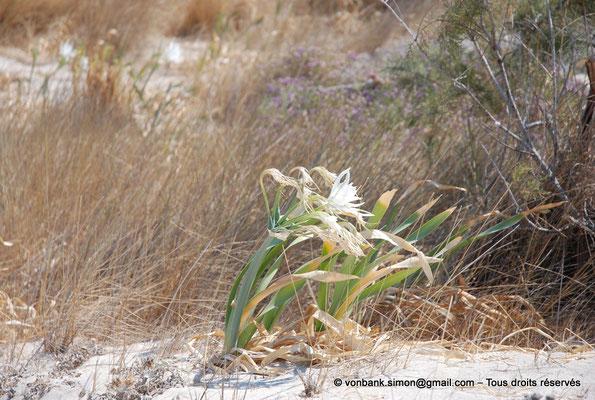 [NU900x-2013-0104] GR - Crète - Elafonissi : Lys de mer (ou lis des sables)