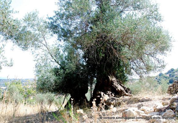 [NU900x-2013-0215a] Crète - Argyroupoli : Olivier multi-centenaire