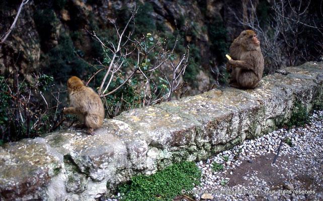 [012-1984-11] Gorges de Kherrata - Magots