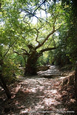 [NU900x-2013-0248] Crète - Argyroupoli : Platane bi-millénaire (?)