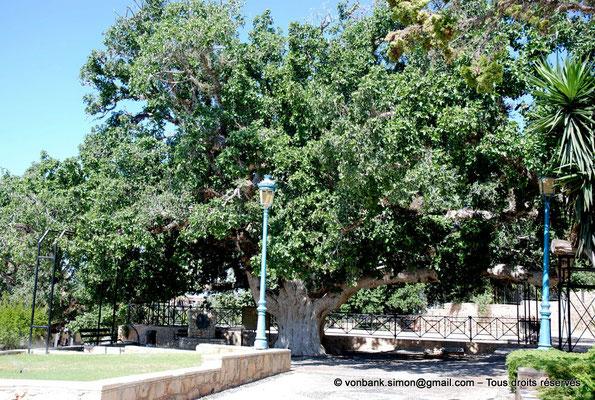[NU900-2012-0133] Agia Napa : Sycomore multiséculaire