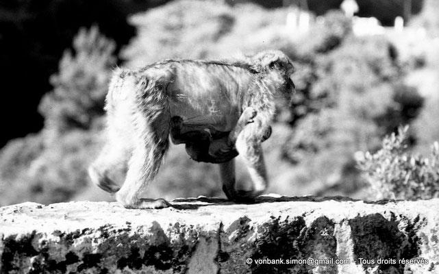 [NB055-1978-21] Gorges de Kherrata - Magots