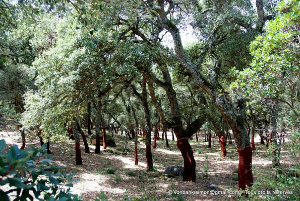 [NU904-2015-075] Nuraghe Majori (Sardaigne) : Forêt de chênes-lièges